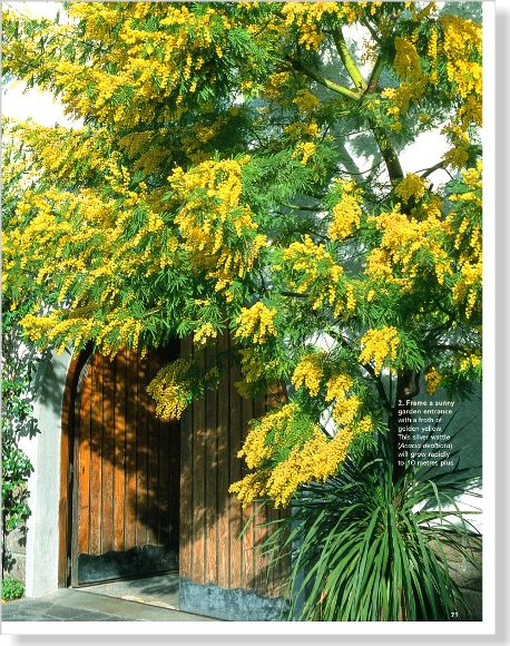 Silver wattle. Clipped from Better Homes and Gardens using Netpage.