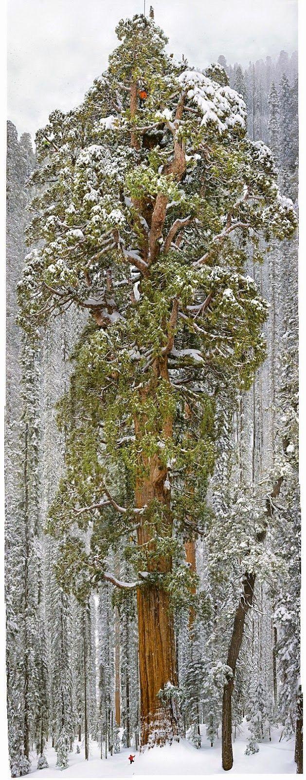 """""""A presidente"""", como é chamada, é uma sequóia gigante que se estende por 75 metros e altura, tem um volume de 13 mil metros cúbicos, e tem cerca de 3200 anos de idade"""