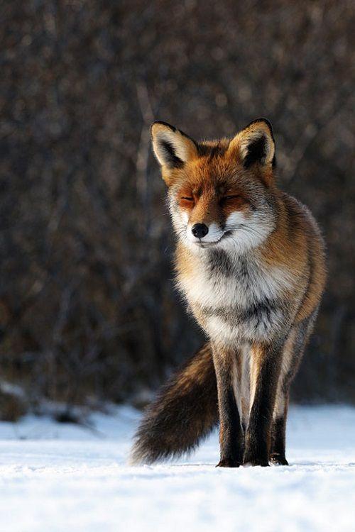 Vossie   – Fuchs