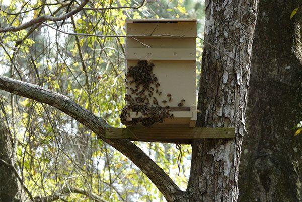 Простая в изготовлении, и эффективно работающая ловушка для пчел поможет без затрат, только за счет поимки бродячих роев увеличить численность медоносных насекомых в хозяйстве.