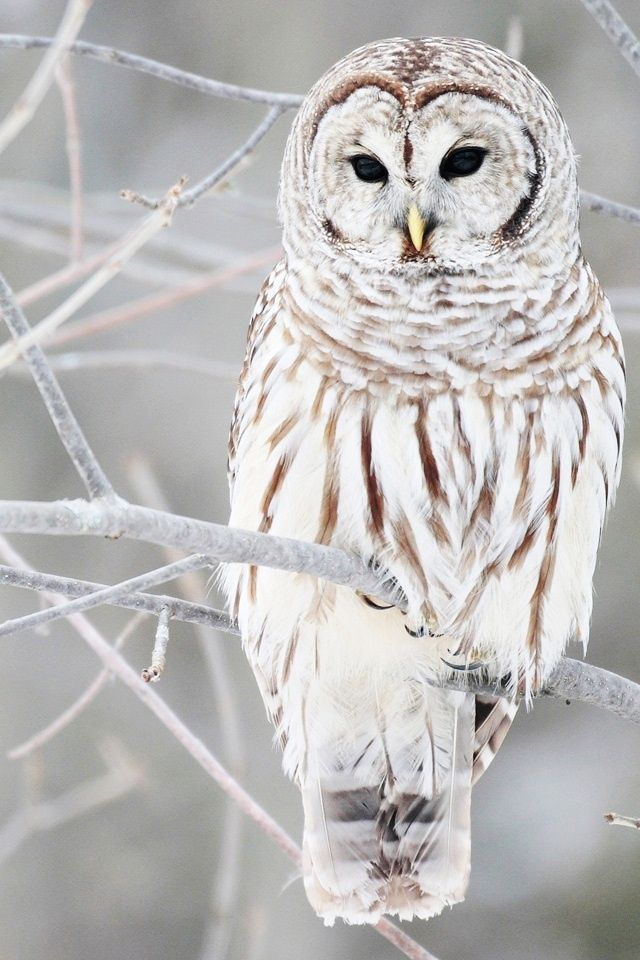 A white and brown owl perched up in a snowy tree.