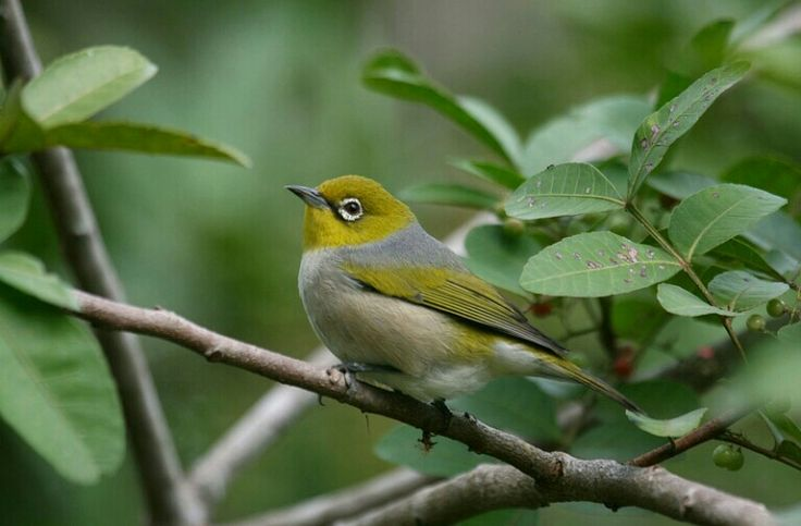 Silvereye, photographed by Lee Mason