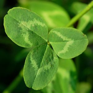 9 Common Lawn Weeds and How to Handle Them: Clover