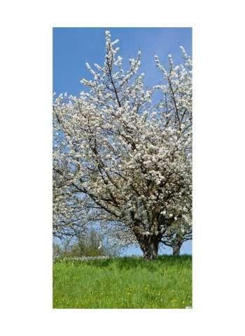 Kirschblütenbaum Motivdruck 180x90 cm (L/B)