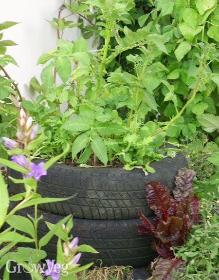 Growing potatoes in containers (such as old tires)