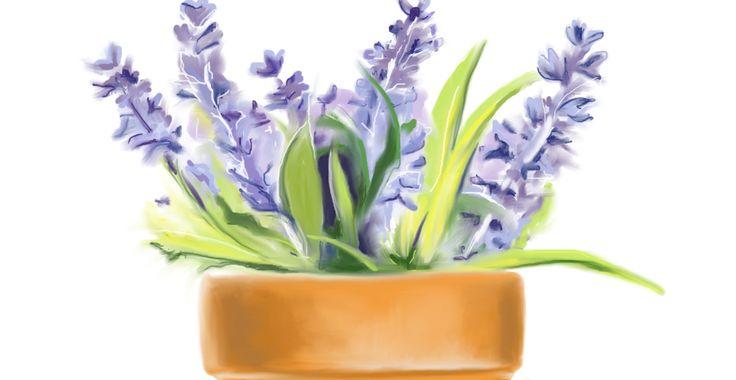 Lavender – Potted Plants