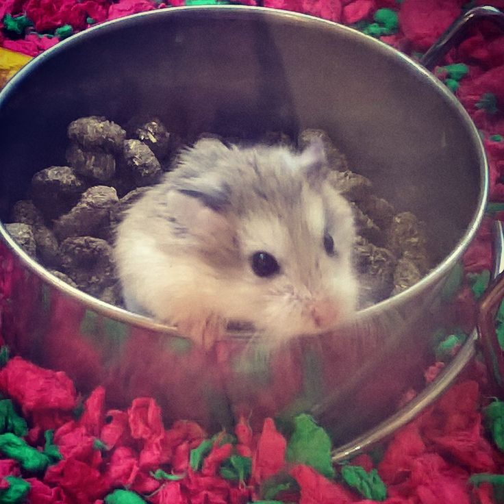 Dwarf Robo Hamster peeking out from his food bowl