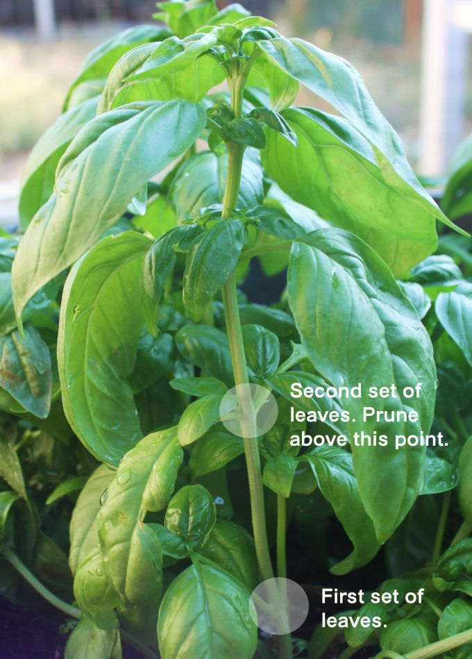 How to Prune Basil and Propagate it the Best Way