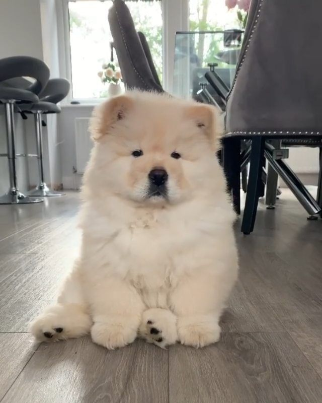 Puppies On Instagram Mimi Thechow Chow Chowchowpuppy