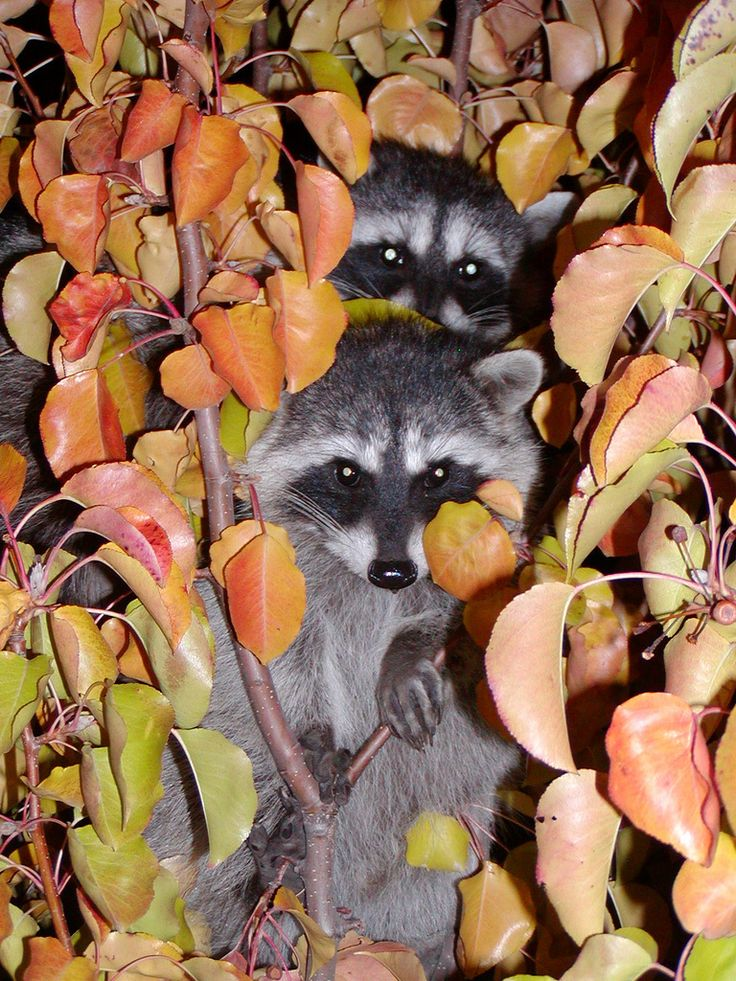 Juvenile raccoons made a late-night appearance at Lawrence Livermore National Laboratory. This was the only time they were seen, and their parents didn't seem to be around. Raccoons are rarely visible during daylight hours at the Lab. #wildlife #raccoons