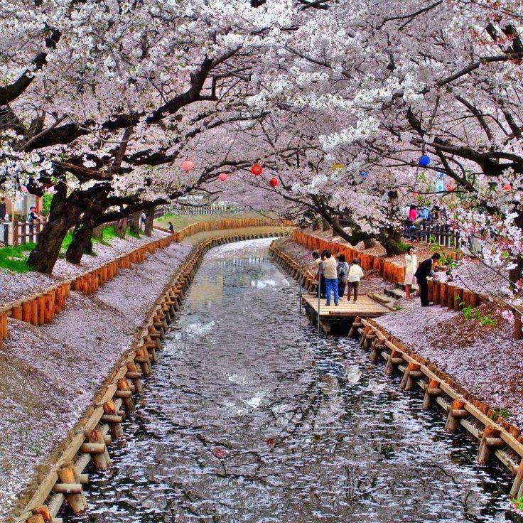 Flores de cerejeira, Kyoto, Japão                                                                                                                                                      Mais