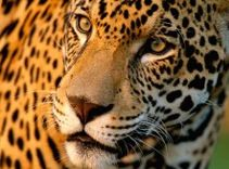 I'm a Jaguar  http://www.wwf.org.uk/wildlife/which_animal_are_you_/