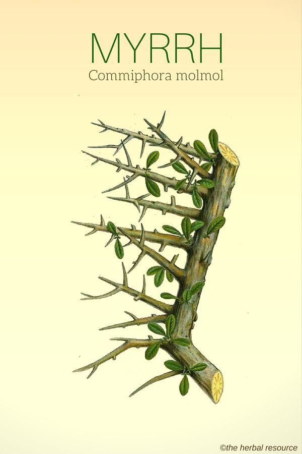 Myrrh Commiphora molmol