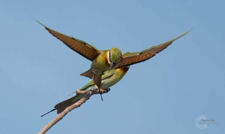 Glide - Green Bee-eater flies off a Tree for ameal