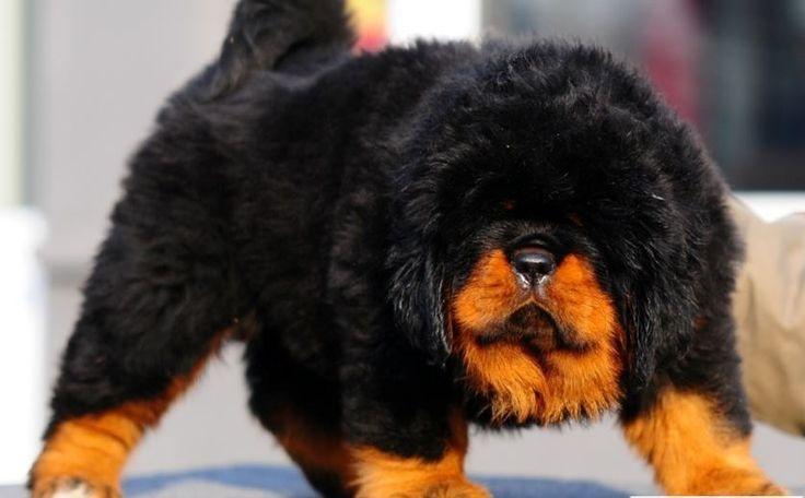 razas muy raras de perros que probablemente nunca verás