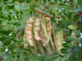 Caesalpinia spinosa seeds