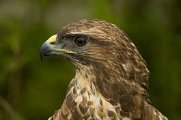 De gemeente Grave heeft waarschuwingsborden laten plaatsen in het Raamdal in Escharen. Die borden waarschuwen voorbijgangers voor agressieve roofvogels.