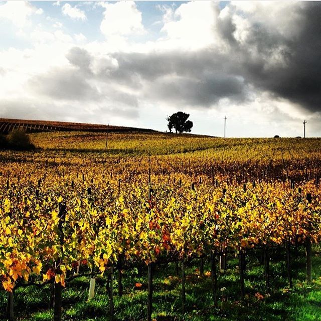 Colori autunnali/2 #autumn #italy #colors #clouds #vineyard #nature #Umbria #Montefalco