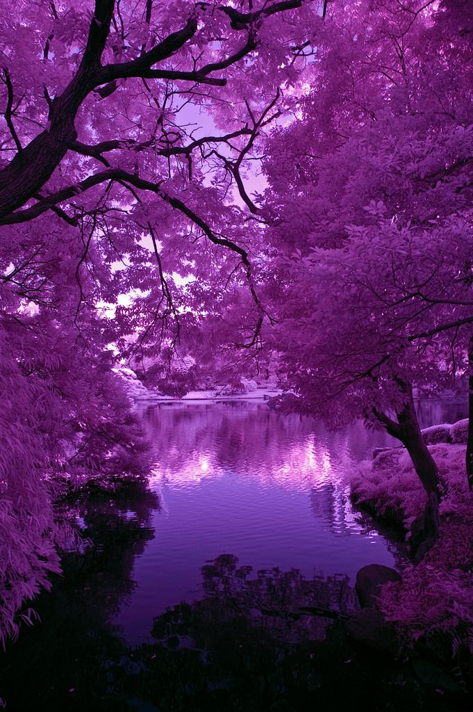 Japanese Pond Purple Light And Shadows   Copyright © Daniel …   Flickr