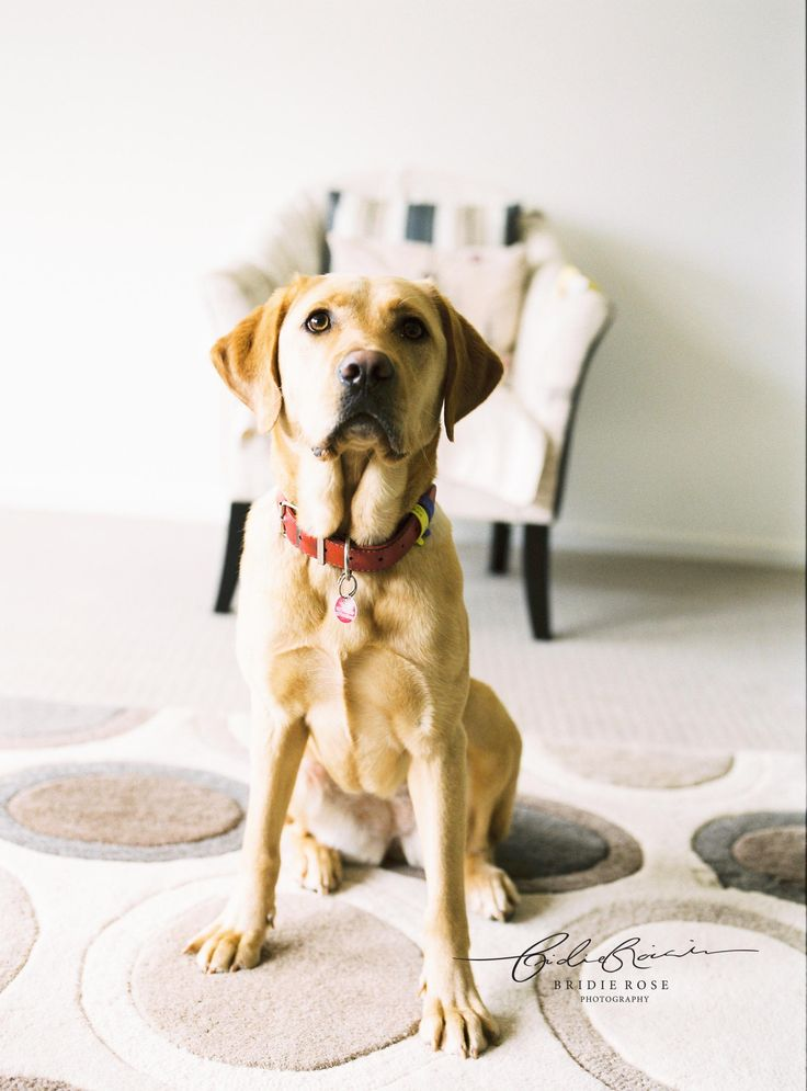 Willow the golden labrador | Equine Canine Photographer | Bridie Rose Photography