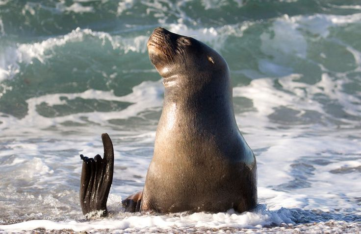 Southern Sea Lion making a point. by Richard McManus on 500px