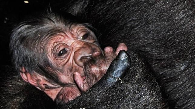 ¿Cómo sobreviven los gorilas al ébola?