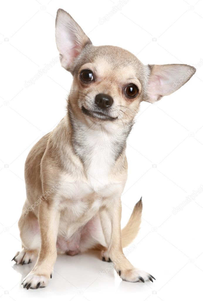 Chihuahua In Front Of A White Background Stock Photo Aff