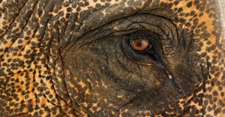 Olho de um elefante visto em uma partida de exibição durante o torneio de polo anual de caridade da Copa do Rei Elephant no resort Riverside em Bangkok, na Tailândia