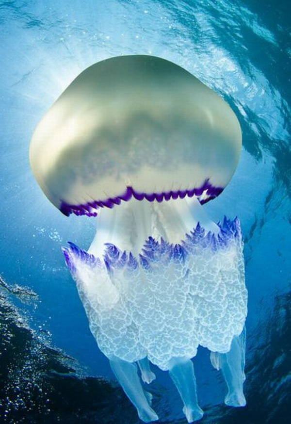 Rhizostoma pulmo, commonly known as the barrel jellyfish or the dustbin-lid jellyfish