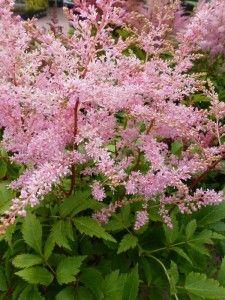 Bloei en blad Astilbe bloeit, afhankelijk van de soort, tussen juni en augustus/september. De bloempluimen in de kleuren wit, roze, rood of paars blijven lang mooi aan de plant. U kunt de pluimen in de winter aan de plant laten, het ziet er mooi uit met wat sneeuw of rijp erop. Bovendien geeft het de plant wat extra bescherming