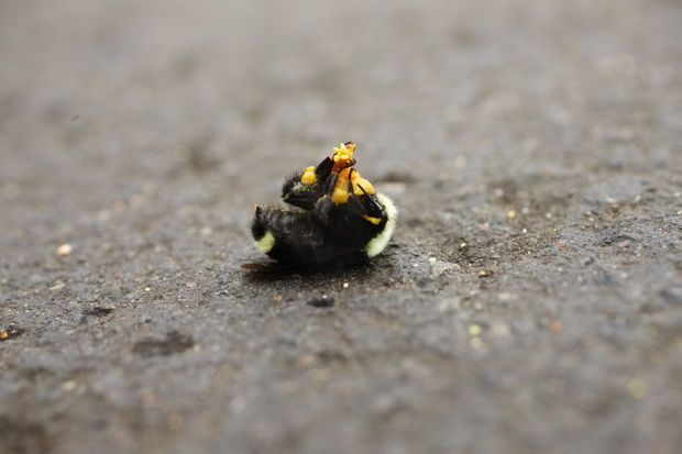 25K Bumblebees killed in Oregon Parking Lot - Pesticide in Linden Trees likely the culprit.    As if we really need more bees dying off?!!??