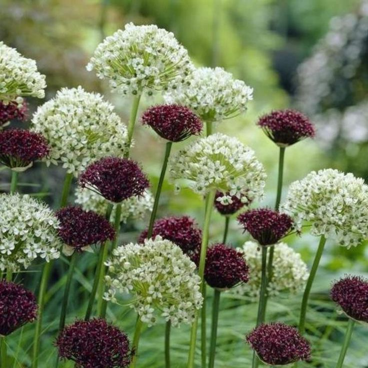 Allium Atropurpureum A Beautiful Drumstick Allium Of Dark Purple Blooms Appear In Spring And Early Summer Which Hold Thei Plants Bulb Flowers Longfield Gardens