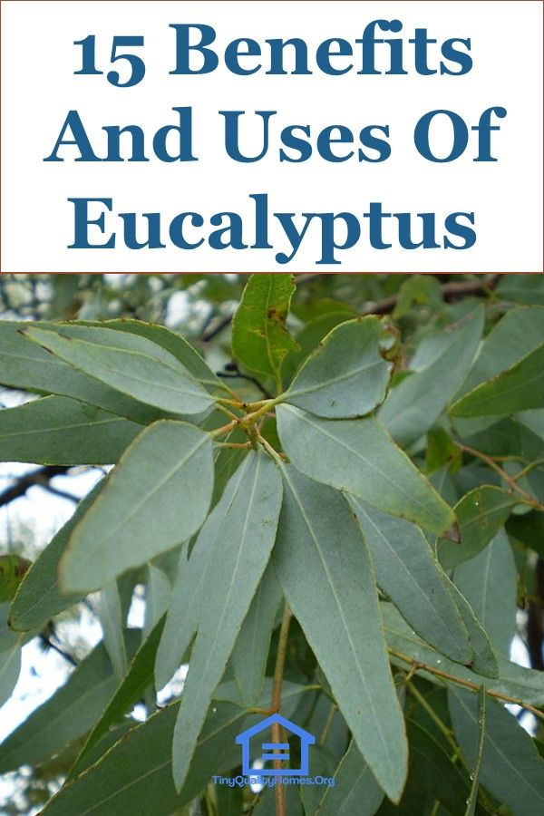 15 Benefits And Uses Of Eucalyptus In 2020 With Images Eucalyptus Oil Benefits Eucalyptus Oil For Skin Dried Eucalyptus