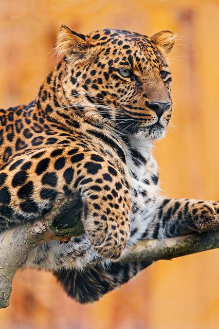 Leopard on the tree by Tambako the Jaguar, via Flickr
