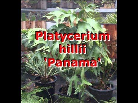Platycerium hillii 'Panama'