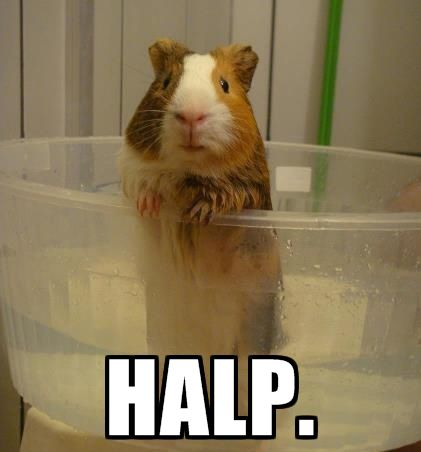 Every pig's thought during a bath. #guineapigmeme