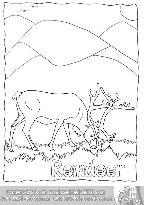 Real Reindeer Coloring Pages from