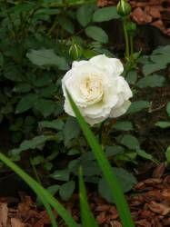 Розы Барни (rose Barni) -