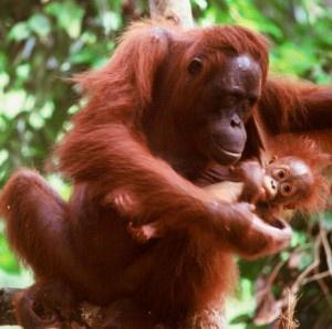 Orangutan: Orangutans Adventure,  Orangutang,  Pongo Pygmaeus, Orangutans Sanctuary,  Orange, Mommy And Baby, Baby Hair, Orange Utan, Animal
