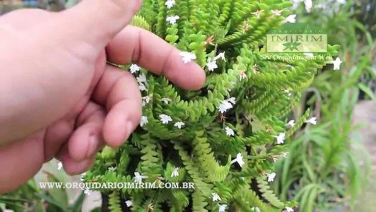 Angraecum distichum - Orquidário Imirim