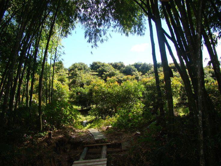 Cultivo de Aguacate Hass. La Ceja Antioquia COLOMBIA