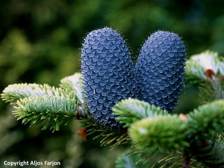 25 best Crazy Cool Conifers images on Pinterest ...