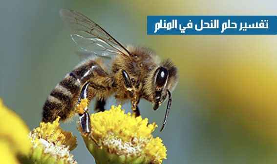 تفسير رؤية النحلة في المنام In 2021 Bee Animals Insects