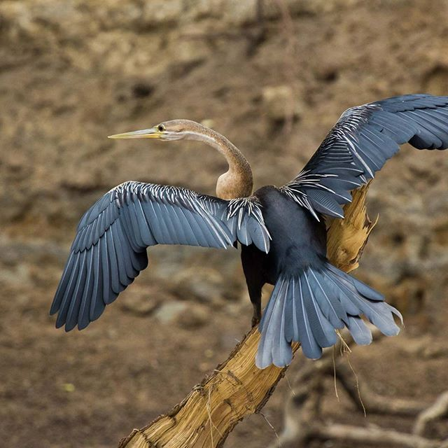 An African Darter is commonly known as the snake bird because it swims with its body submerged and the neck has a likeness to a snake in water.