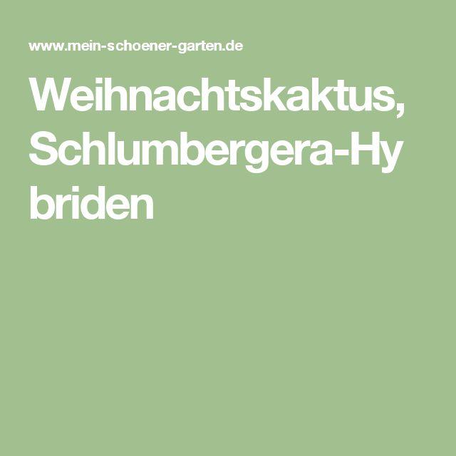 Weihnachtskaktus, Schlumbergera-Hybriden