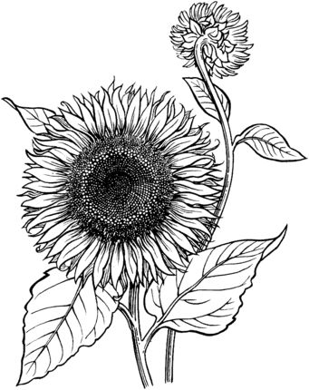Blooming Sunflower Coloring page
