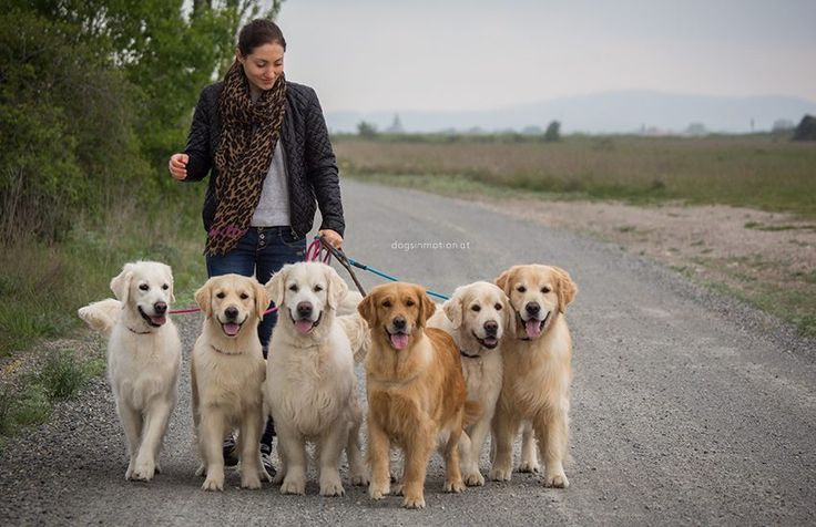 A beautiful sight....how many Golden's does it take to walk a human?