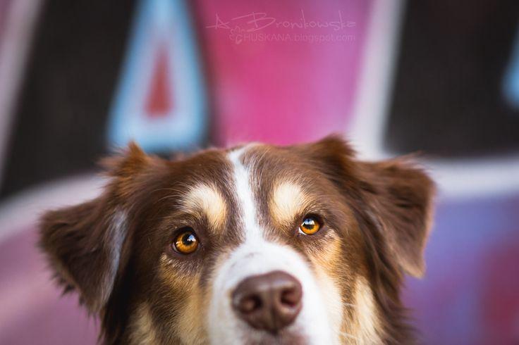 Graffiti by Huskana  #PolskaMalowana #fotografia #photography #animal #dog #zwierzę #pies #australian #shepherd #owczarek #australijski