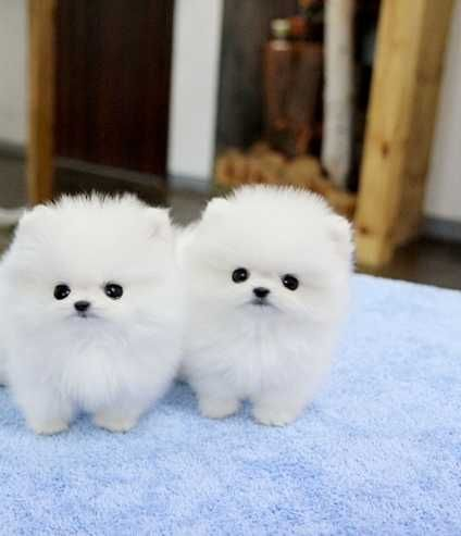 Calgary<<Cute< Pomerania Excellent, Very Good Price Image eClassifieds4u