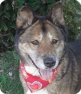 7/12/16 SL- Canoga Park, CA - Akita/Shepherd (Unknown Type) Mix. Meet Bubba aka Dolby, a dog for adoption. http://www.adoptapet.com/pet/5897153-canoga-park-california-akita-mix